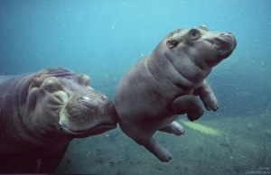 hippopotamus-baby-beautiful-164-1